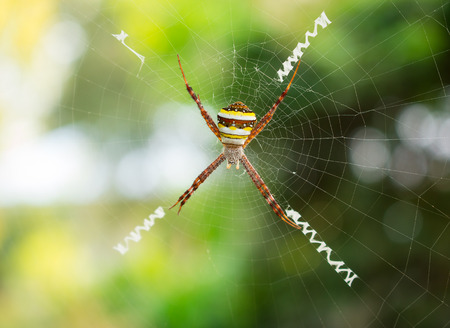 eight legs: Spider, Cross spider hanging on web in natural