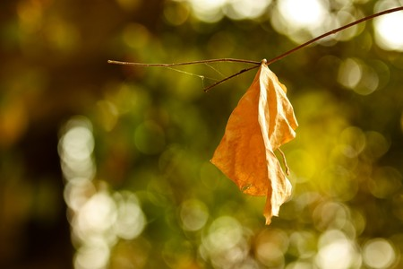 dispirited: dry leaf on the branch