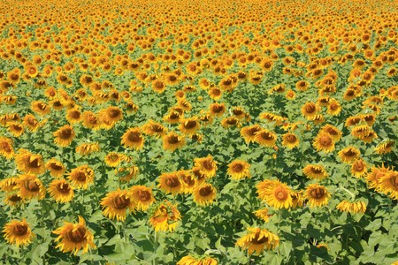 plentifully: colorful enormously sunflower in field Stock Photo