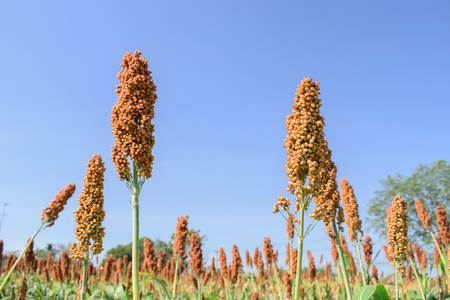 sorgo: Red Sorghum farm with blue sky in Thailand