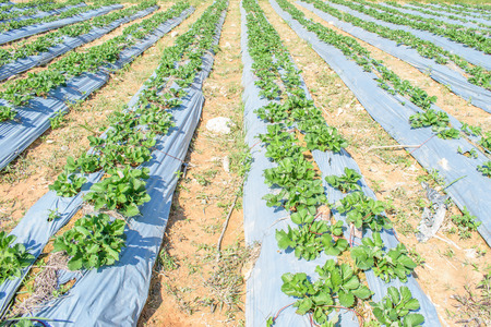 strawberrys: Strawberrys farm on plateaus in countryside of Thailand