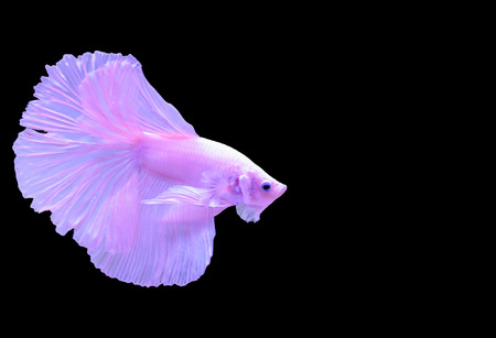 Isolated pink Siamese fighting fish on black background