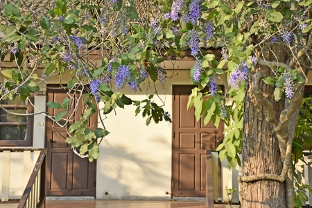 petrea volubilis: Petrea volubilis L. on tree in front of a house