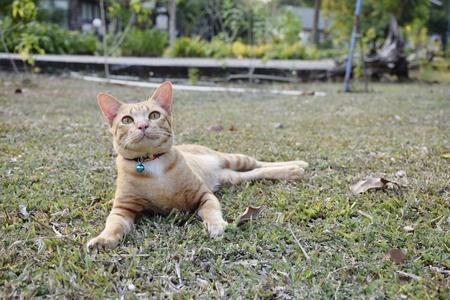 Orange cat on lawn