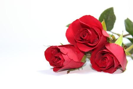 Rose rouge sur l'arrière-plan Banque d'images