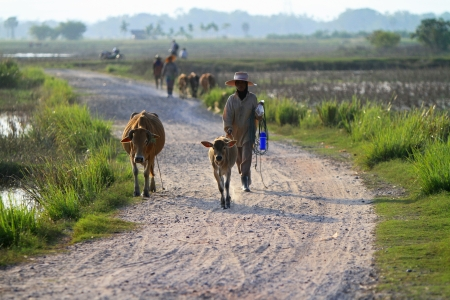Nakhon Si Thammarat, Thailand - FEBRUARY 18, 2011 : Local farmers lead a herd of cows down the road. Stock Photo - 16943192