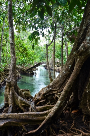 brackish water: Mangrove forest  Krabi, Thailand  Tha Pom Khlong Song Nam, the only venue of two-water ecology  fresh water and brackish water  in Thailand