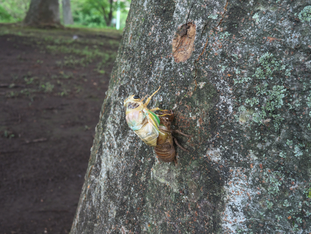 Adult emergence of cicada