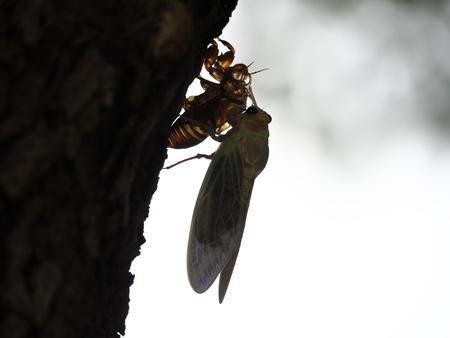 emergence: Adult emergence of cicada