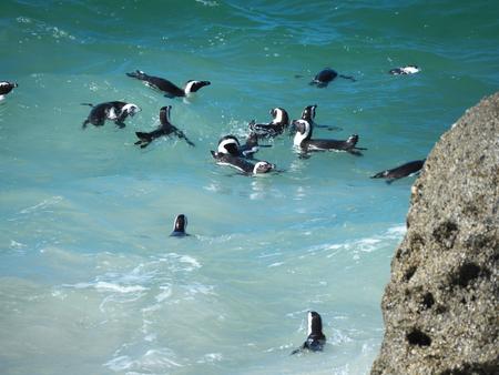 penguins on beach: Penguins at Boulders Beach, Cape Town