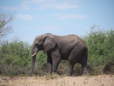Chobe National Park (elephant)