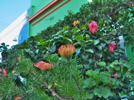 quarters: Flame Giant (Leucospermum) at Malay Quarters or Bo-Kaap
