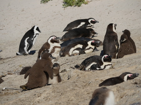 penguins on beach: Baby penguins at Boulders Beach, Cape Town