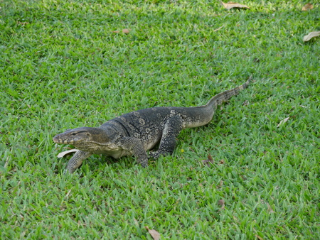 cold blooded: water monitor lizard (Varanus salvator) at Lumphini park, Bangkok