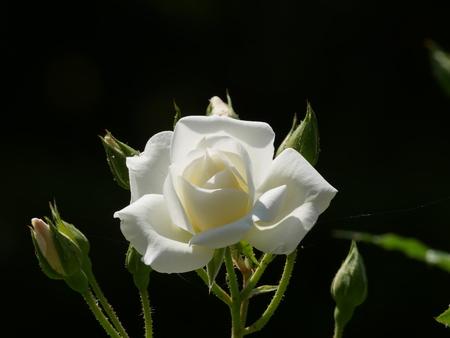 Closeup of rose, Frau Karl Druschki