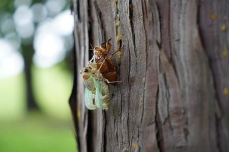 蝉の出現のクローズ アップ 写真素材