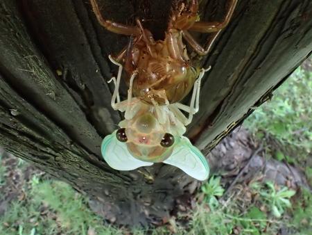 出現中に蝉の顔のクローズ アップ