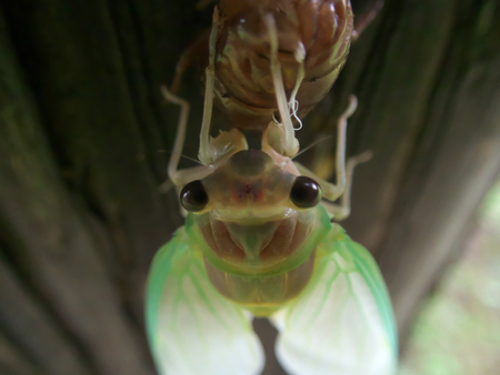 Closeup of Emergence of cicada Фото со стока