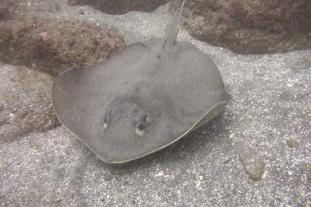 海の底でアカエイ 写真素材