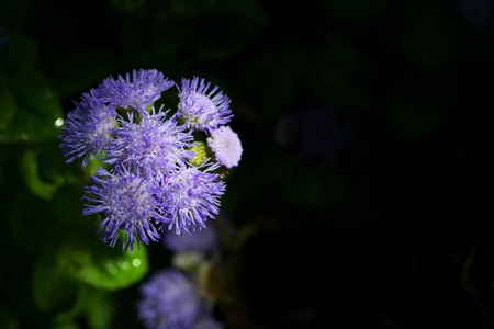 Ageratum or whiteweed on black background