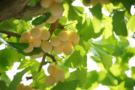 Ginkgo tree with Ginkgo nuts