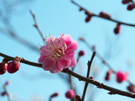 Ume blossom or Plum blossom, harbinger of the arrival of spring in Japan Stock Photo