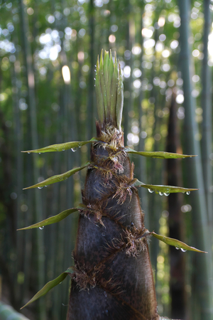 Tokyo, Japan-April 22, 2018: Drip from bamboo sprout or bamboo shoot is observed only early in the morning. 版權商用圖片