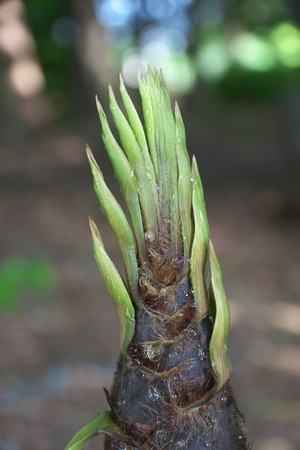 Drip from bamboo sprout or bamboo shoot is observed only early in the morning.