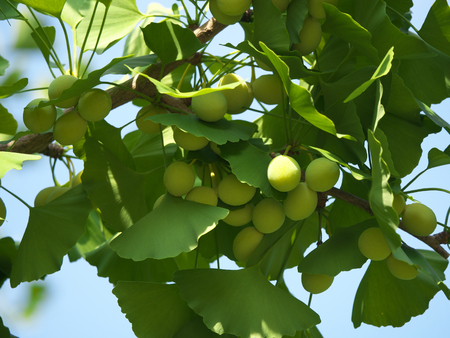 Tokyo, Japan-June 17, 2018: Ginkgo nuts have become bigger, but still green and immature. Archivio Fotografico - 105565390