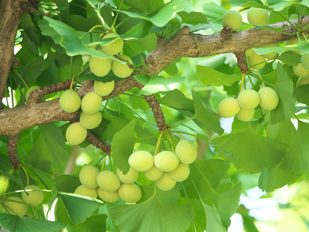 Tokyo, Japan-June 17, 2018: Ginkgo nuts have become bigger, but still green and immature. Archivio Fotografico - 105565391