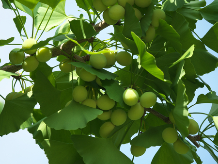 Tokyo, Japan-June 17, 2018: Ginkgo nuts have become bigger, but still green and immature. Archivio Fotografico - 105565393