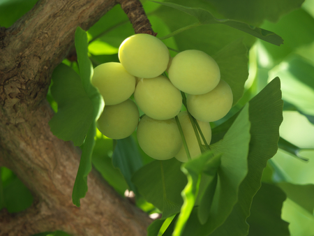 Tokyo, Japan-June 17, 2018: Ginkgo nuts have become bigger, but still green and immature. Archivio Fotografico - 105565394