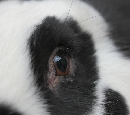 Closeup of eye of a rabbit