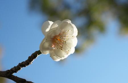 Tokyo, Japan-February 18, 2019: Japanese Plum (ume) Blossoms in February