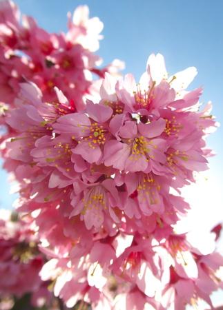 Tokyo, Japan-March 18, 2019: Prunus incamp cv. Okame or Okame cherry or Okamezakura are in full bloom