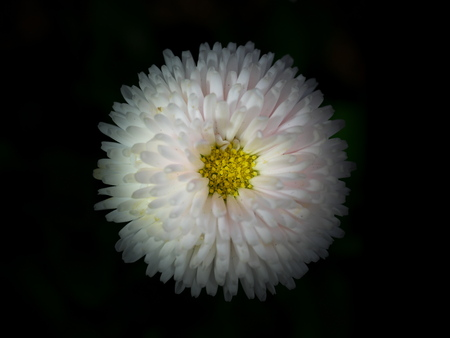 Tokyo, Japan-March 19, 2019: English daisy on black background