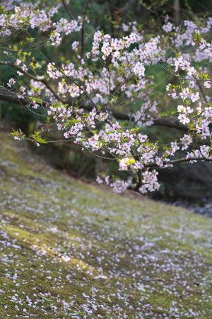 Tokyo, Japan-March 27, 2019: Cherry blossom began to flutter down in Tokyo, Japan