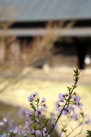 Tokyo, Japan-March 27, 2019: Cherry blossom began to flutter down in Tokyo, Japan Stok Fotoğraf - 124716485