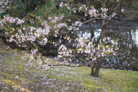 Tokyo, Japan-March 27, 2019: Cherry blossom began to flutter down in Tokyo, Japan Stok Fotoğraf - 124716497