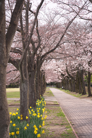 Tokyo, Japan-March 28, 2019: Cherry blossoms and narcissus in a park in Tokyo, Japan