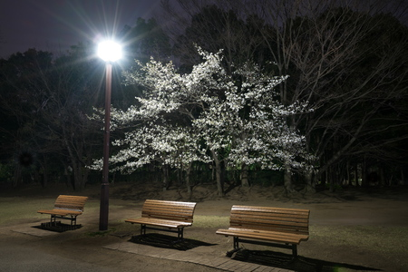Tokyo, Japan-March 29, 2019: Cherry blossoms and benches in a park in Tokyo Stok Fotoğraf