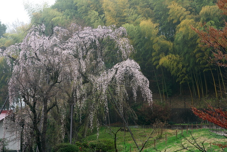 Tokyo, Japan-March 31, 2019: Old Weeping Cherry Tree with twitter of birds in Tokyo after the rain
