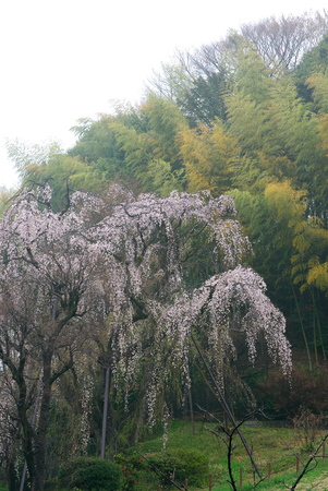 Tokyo, Japan-March 31, 2019: Old Weeping Cherry Tree with twitter of birds in Tokyo after the rain Stok Fotoğraf - 124716542