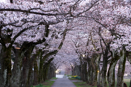 Tokyo, Japan-April 2, 2019: Morning scene of Cherry blossoms arcade in a park in Tokyo early in the morning