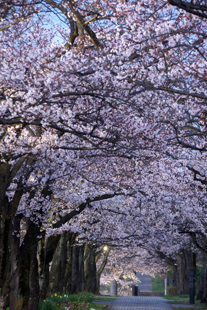 Tokyo, Japan-April 2, 2019: Morning scene of Cherry blossoms arcade in a park in Tokyo early in the morning Stok Fotoğraf - 124716547