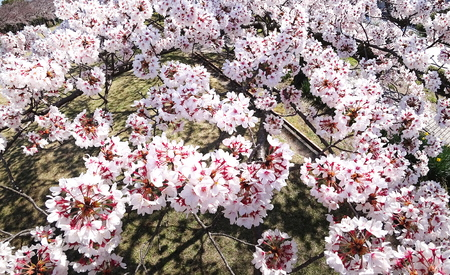 Tokyo, Japan-April 2, 2019: Closeup of Cherry blossoms from Birds view in a park in Tokyo Stok Fotoğraf