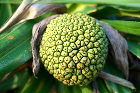 MMI Oshim, JPN-pril 8, 2019: Fragrant Screw Pine Tree or Pandanus fascicularis or Pandanus odorifer or kewra or ke Ora or kewda