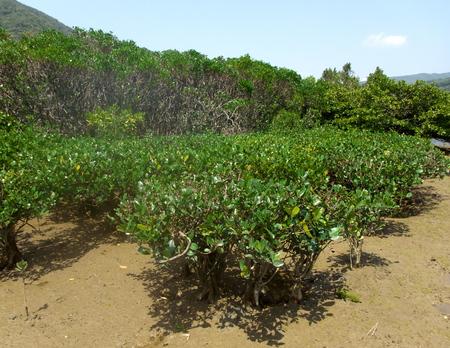 Amami Oshima, Japan-April 8, 2019: Mangrove virgin forest in Amamigunto National Park, Amami Oshima, Kagoshima, Japan
