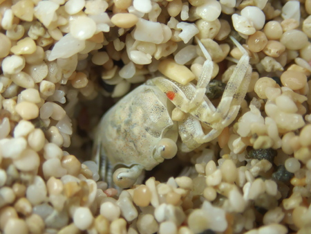 Amami Oshima, Japan-April 6, 2019: Ghost crab, sand crab, white crab or Ocypode stimpsoni at Tomori Beach, Amami Oshima, Kagoshima, Japan