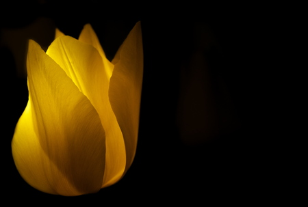 Tokyo, Japan-April 13, 2019: Isolated yellow tulip on black background